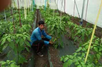 कांठल में भी शिमला मिर्च की खेती