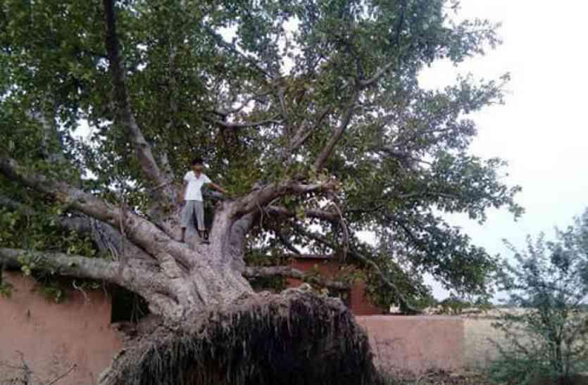दो माह बाद फिर खड़ा हो गया गिरा हुआ पीपल का पेड़!