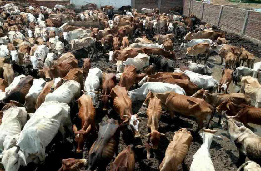 शगुन गोशाला में नहीं रहेगी गायें, जिले के गो-शालाओं में किया जाएगा शिफ्ट, संचालक हरिश वर्मा गिरफ्तार