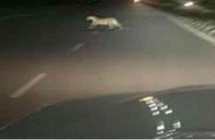 शहर में बाघ की दस्तक से फैली दहशत