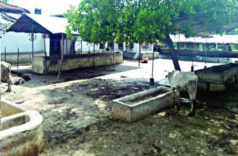 फिर लापरवाही: गायों को ऐसे गौशालाओं में छोड़ा जहां कोई सुविधा नहीं