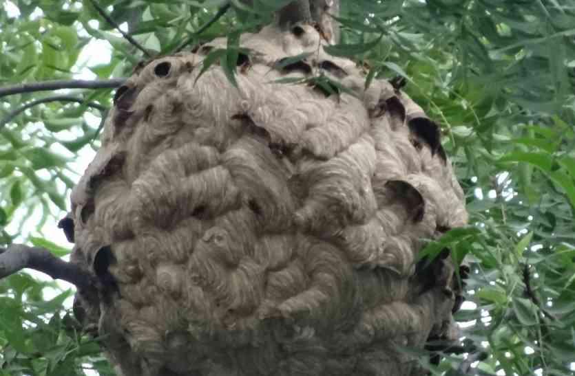 कभी देखा है जंगली मधुमक्खी का छत्ता