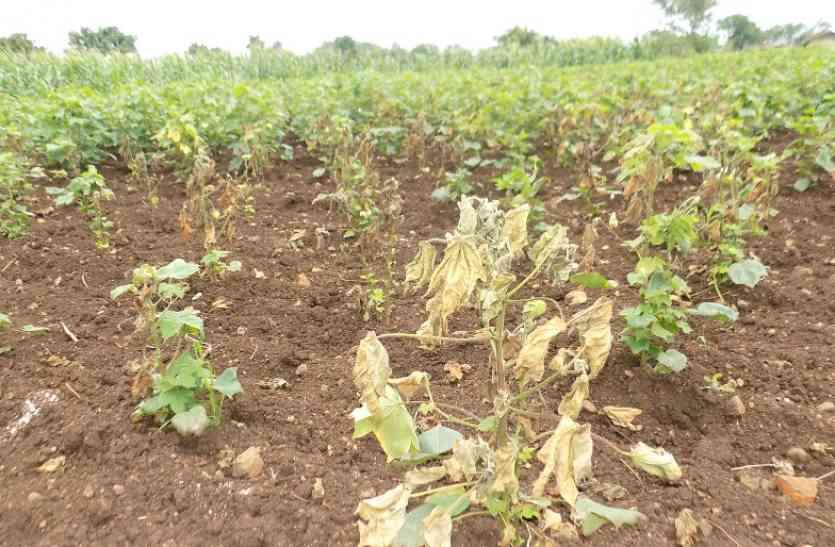 हर साल नुकसान, यहां फिर भी फसल बीमा से बेरुख किसान