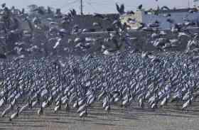 मारवाड़ में गूंजा प्रवासी पक्षी कुरजां का कलरव