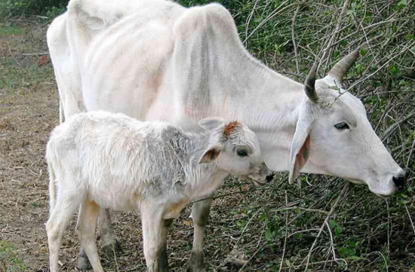 गाय तस्करी के शक में तीन लोगों की कर दी धुनार्इ, बाद में देखा तो मिला Donkey