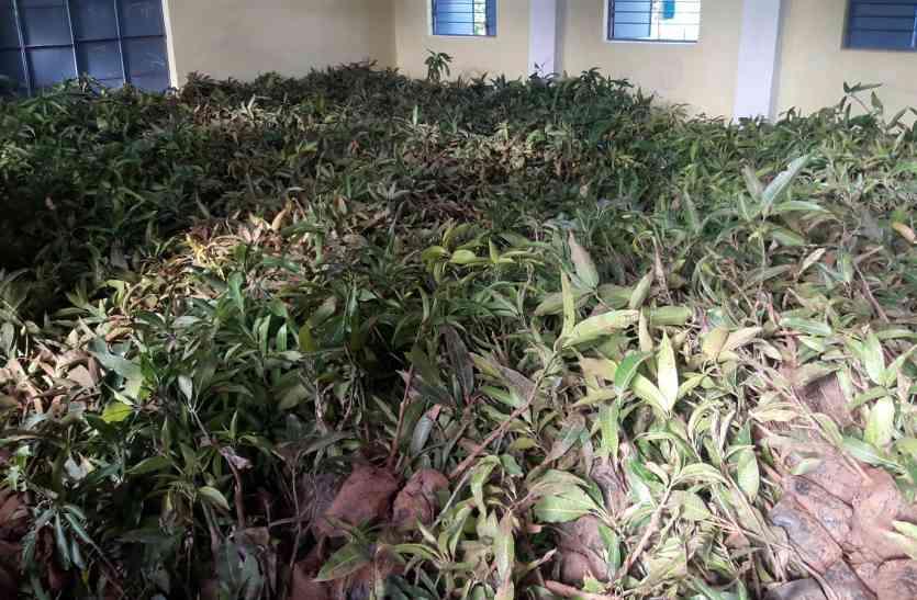 शिक्षा विभाग ने 15 रुपए में, जनपद पंचायत ने 35 रुपए में खरीदा अमरूद का पौधा