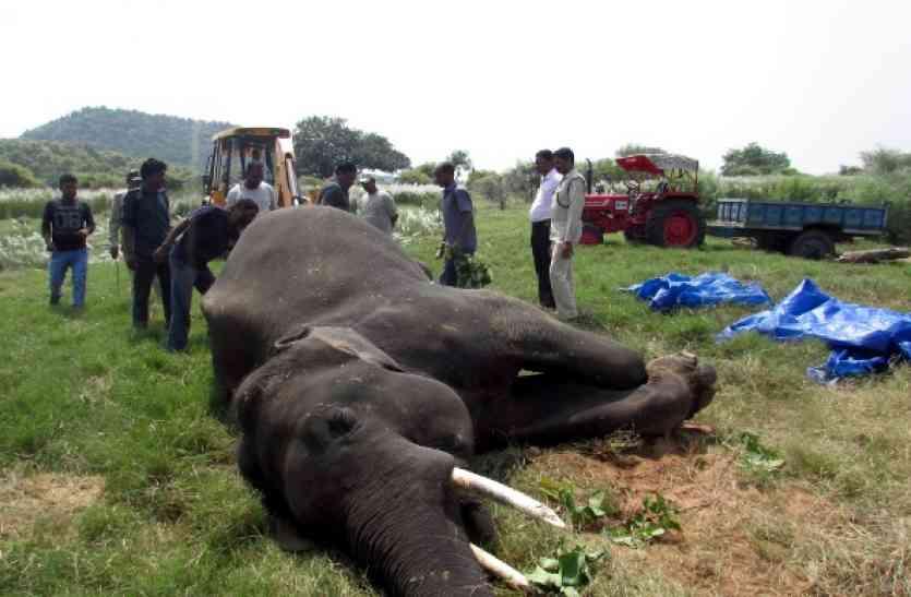 पन्ना टाइगर रिजर्व में विंध्या नाम के हाथी की संदिग्ध मौत, जानिए क्या कह रहा पार्क प्रबंधन