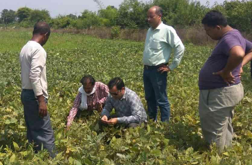 फायदे के चक्कर में मूंग फसल उत्पादकों को हो रहा नुकसान