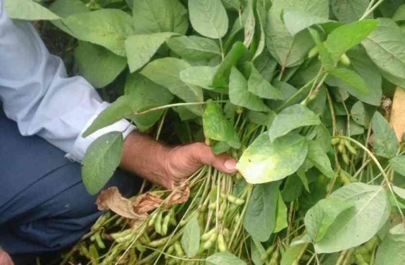 सफेद मक्खी से फसल पर मंडराया संकट, फसल में फेला रोग