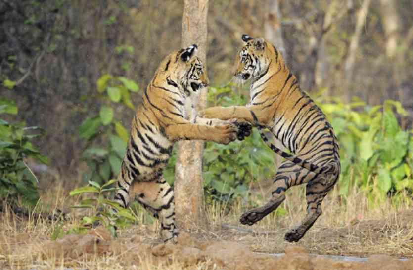शेरों से यारी का शौक है तो बांधवगढ़ आपके इंतजार में है...