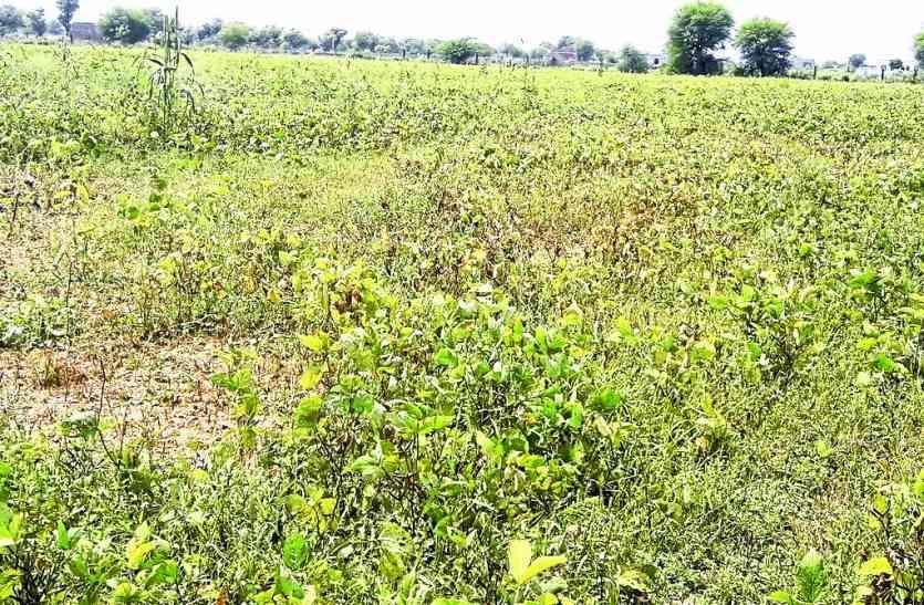 जिले में सूखे की स्थिति, लेकिन अभी तक नहीं गिरदावरी  सूखे की आहट, औसत से आधी भी नहीं हुई बारिश...