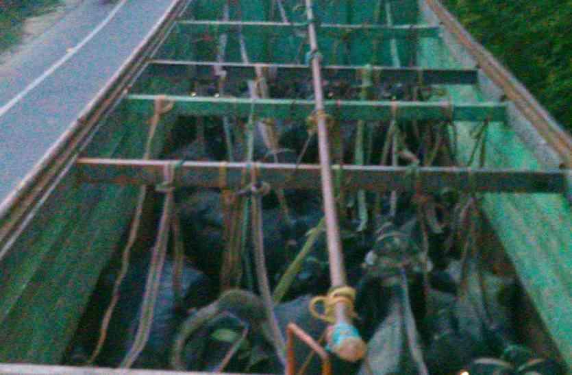ट्रको में भूसे की तरह भरकर ले जाई जा रही 87 भैस बरामद,16 गिरफ्तार