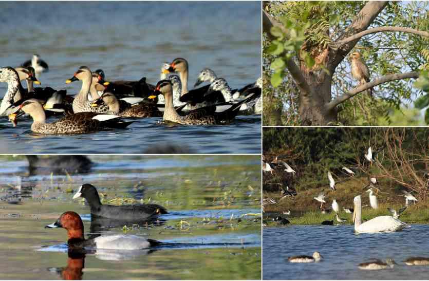 जोधपुर से रूठे मेहमां परिंदे, सितंबर का एक पखवाड़ा बीतने पर भी नहीं पहुंचे प्रवासी पक्षी