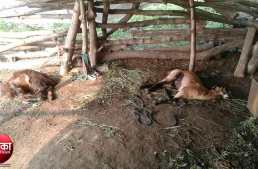 Video : बांसवाड़ा : पैंथर के हमले में तीन बकरियों की मौत