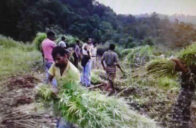 See Video : OMG! छत्तीसगढ़ के शिमला में पकड़ाए गांजे के 2 खेत, देखकर पुलिस के उड़ गए होश