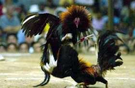 इन मुर्गो को अपराधियों से बचाने कमरे में किया गया कैद, गजब की है वजह