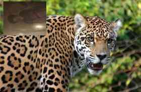 आदमखोर बाघ का आतंक, फिर एक मासूम को बनाया निवाला