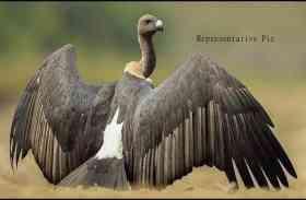 भारतीय गिद्ध की 4 प्रजातियां वैश्विक संरक्षण सूची में शामिल