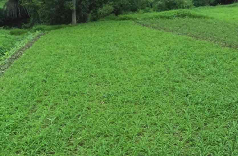 उदयपुर: झाड़ोल के इन किसानों की मेहनत की दीजिए दाद, 3500 किसानों ने एक साल में उगाई 13 करोड़ की मूसली