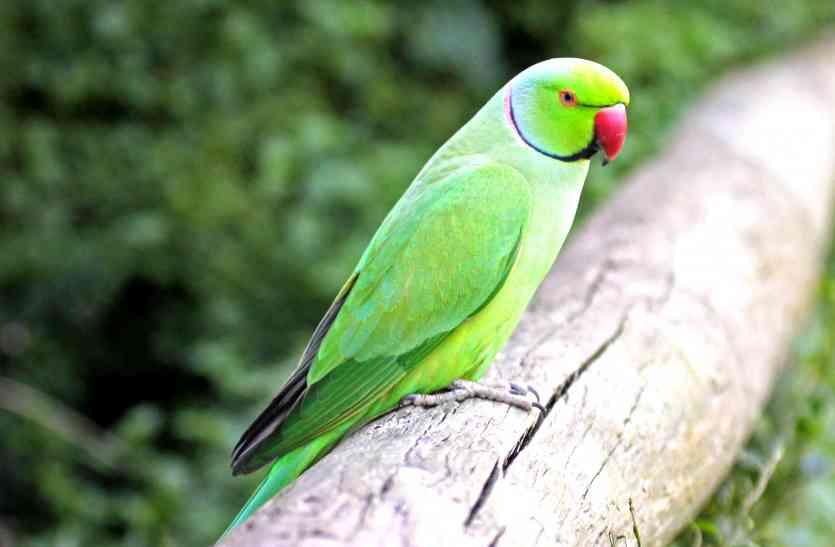 उदयपुर में बन रहे बर्ड पार्क में तोतों का आशियाना हुआ तैयार, अब एमू की बारी