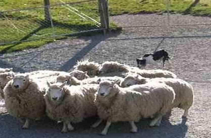 गजब! इन भेड़ों को दिया गया ऐसा प्रशिक्षण जो साधारण नहीं था! आप दांतों तले उंगली दबा लेंगे
