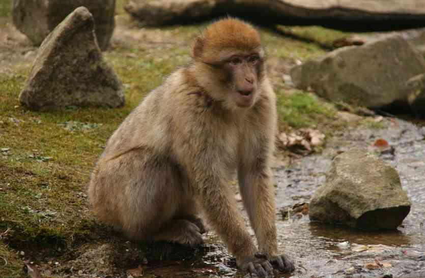 बंदर ने एक शख्स से छीनकर पी ली स्ट्रांग काफी, हो गया ये हाल कि सब रह गए हैरान