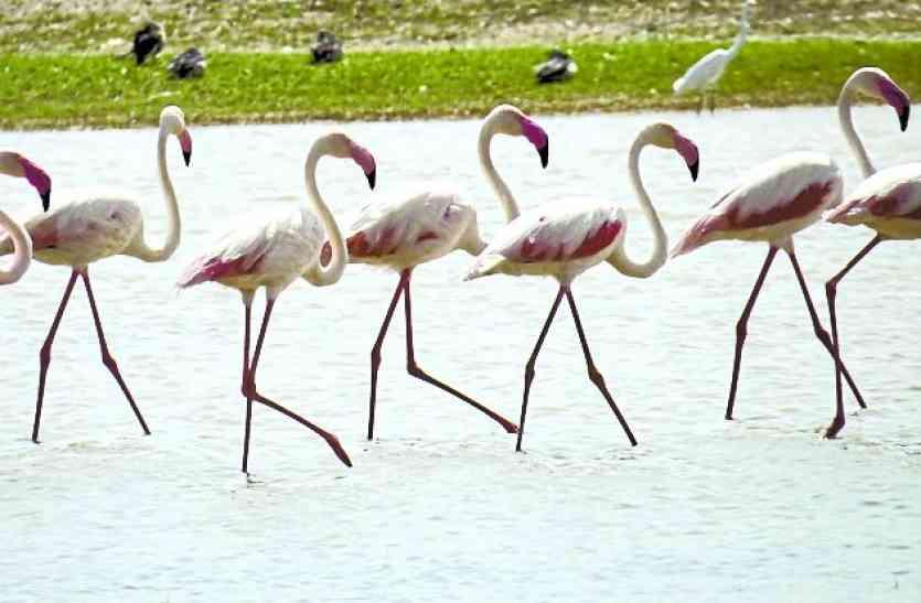 मेहमान परिंदों से गुलजार हुआ बर्ड विलेज मेनार, 17 प्रजातियों के पक्षी पहुंचे