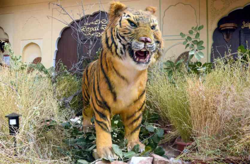 जयपुर की नाहरगढ़ पहाडियों में पहुंचा बंगाल टाइगर, दहाड़ सुनकर हर कोर्इ् ठिठका