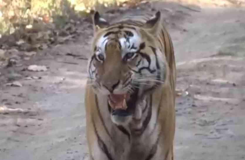दुधवा नेशनल पार्क के लिए बाघों को लेकर नया अभियान, कैमरे में दिखाएंगे...