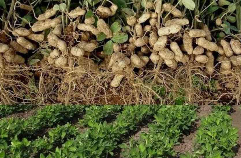 नियमों की आड़ में मूंगफली खरीद में आनाकानी, किसानों की बढ़ रही परेशानी