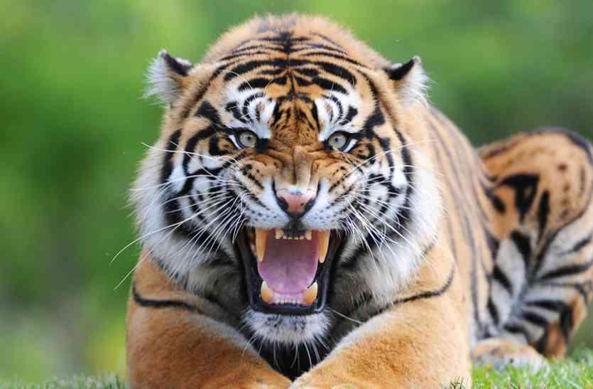 सावधान! चार टाइगरों का मिला मूवमेंट, मासूम पर हुआ हमला तो ग्रामीणों में फैली दहशत, जानिए क्या है खतरा...