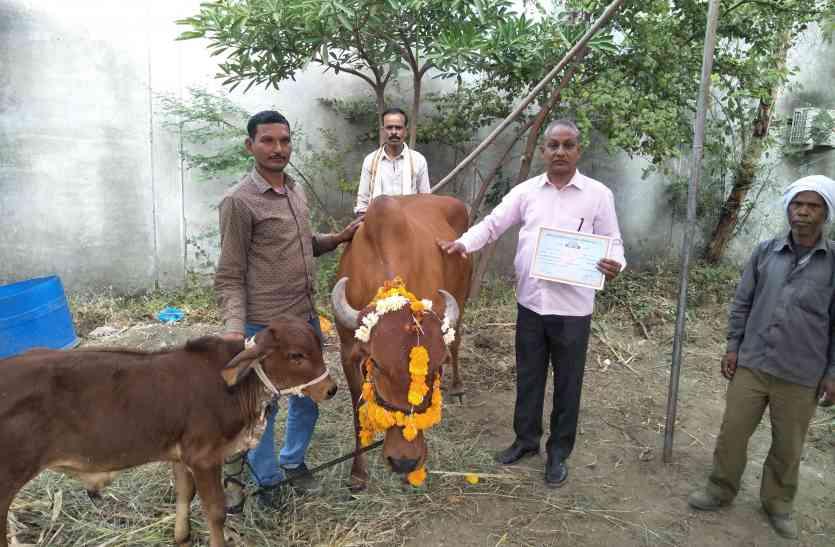 ये गाय देती १९ लीटर दूध