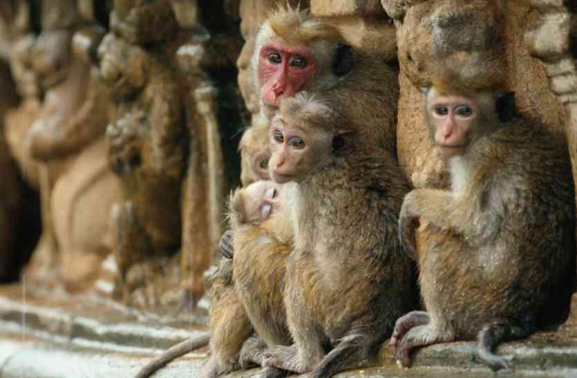 मेट्रो किराया बढ़ने के बाद नहीं मिल रही सवारी, बंदरों को दिए जा रहे हैं फ्री टिकट!