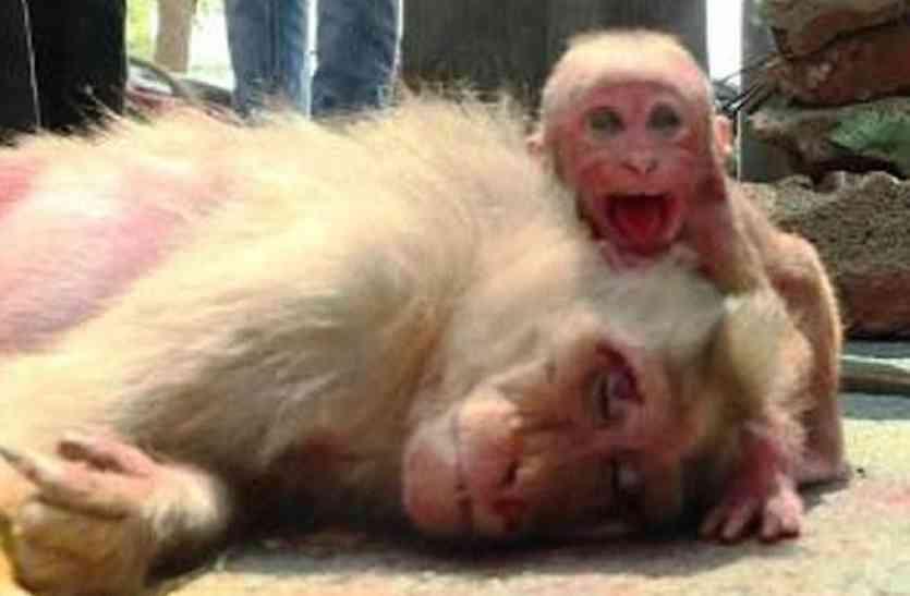 मृत मां के शरीर से लिपट कर घंटों तक रोता रहा था मासूम बंदर, नहीं उठी मां तो बंदर ने जो किया वो दिल दहला देने वाला था
