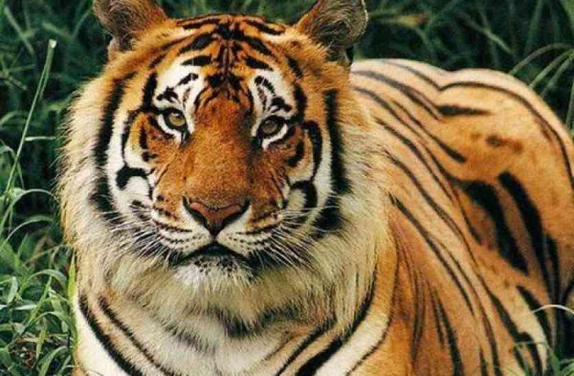 इस नेशनल पार्क में बाघ पर app से रखी जा रही नजर, भाग खड़े हुए शिकारी और तस्कर