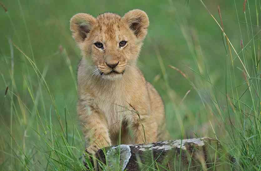 जंगल में पड़ा था गार्ड की मां का शव, घंटों लिपटकर निगरानी करता रहा शेर