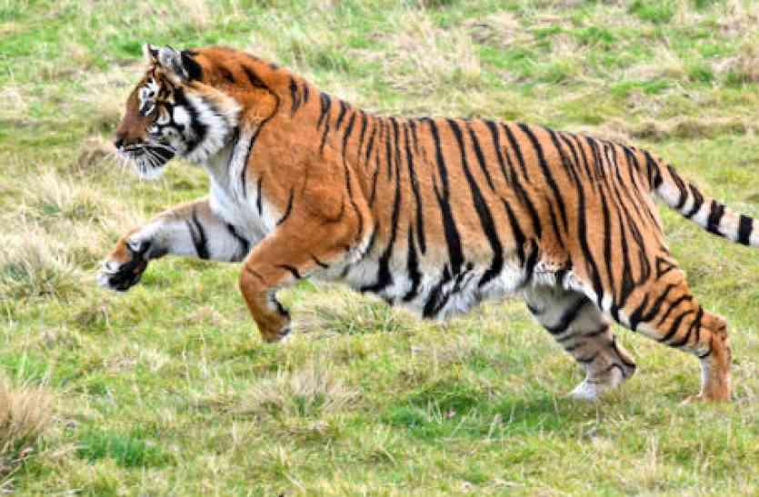 जंगल से आई बाघ की दहाड़, इस तरह रेलवे ट्रैक छोड़कर भागे रेलकर्मी