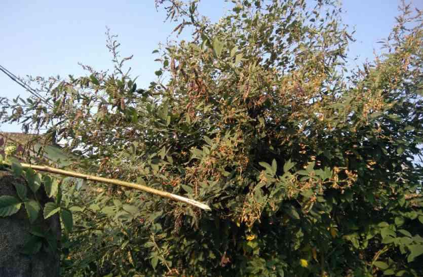 अरहर की फसलों पर मौसम की मार, कीटनाशक दवा का भी नहीं हो रहा कोई असर