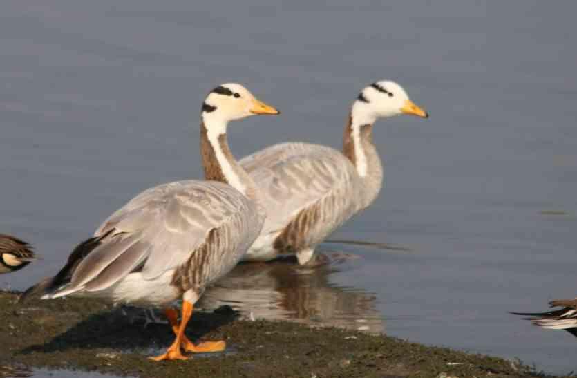 UDAIPUR BIRD FESTIVAL: हिमालय पार कर आता है 'बार हेडेड गूज'