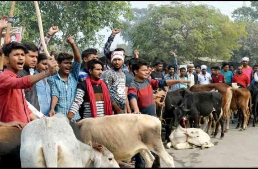 कई सौ गायों और बछड़ों को पकड़कर जाम कर दिया सड़क, उसके बाद पुलिस ने आकर ऐसा कर दिया