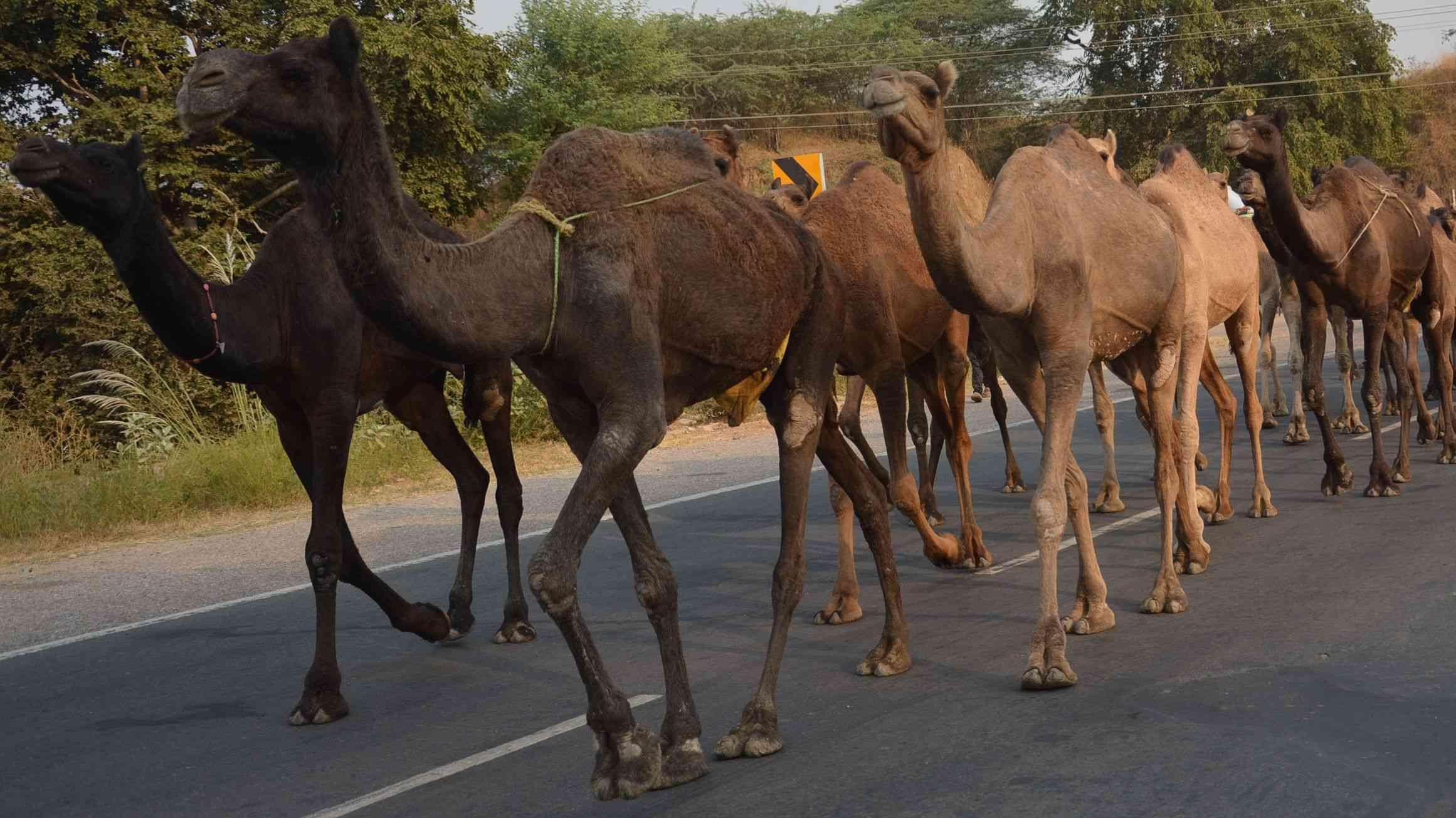 camels group walks on road in alwar