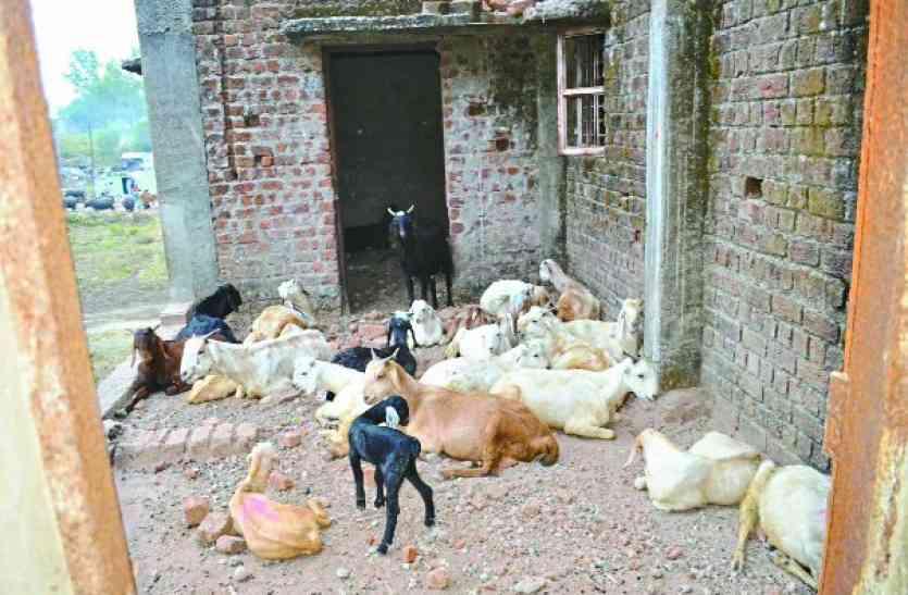 #Housingboard:डुप्लेक्स में जब कोई नहीं आया तो बकरियों ने जमाया डेरा, जानिए क्या है माजरा