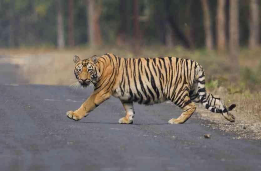 रणथंभौर से गायब हुए बाघ का मूवमेंट होने की संभावना