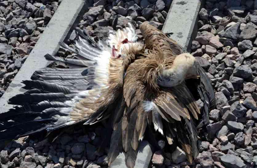 Jaisalmer News- रेल से कटकर जैसलमेर के इस गांव में दुर्लभ गिद्धों की फिर हुई मौत