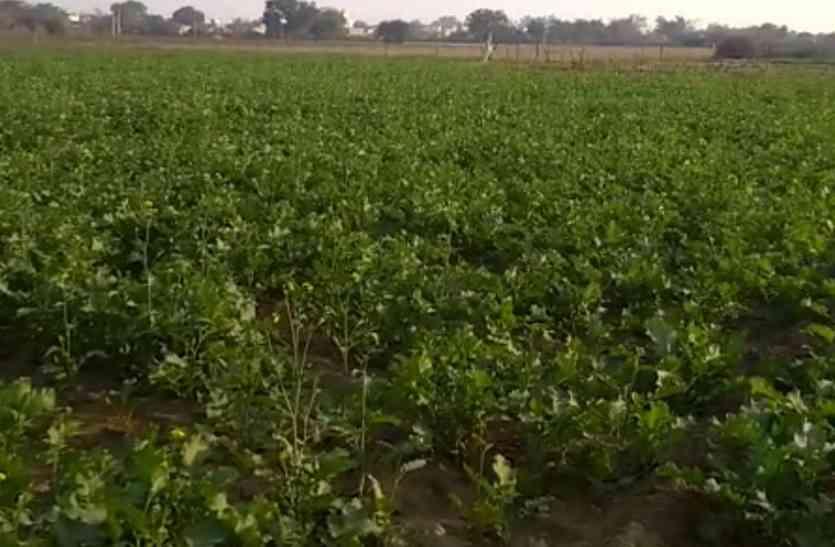Video: मौसम अनुकूल, सरसों-गेहूं को फायदा
