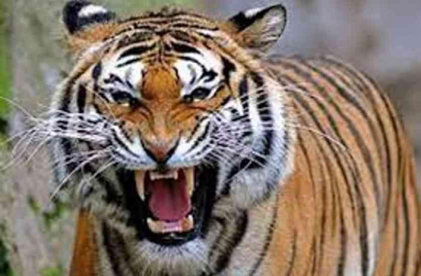 बढ़ता जा रहा मुकुन्दरा में बाघों का इंतजार, अब नए साल में ही सुनाई देगी बाघों की दहाड़
