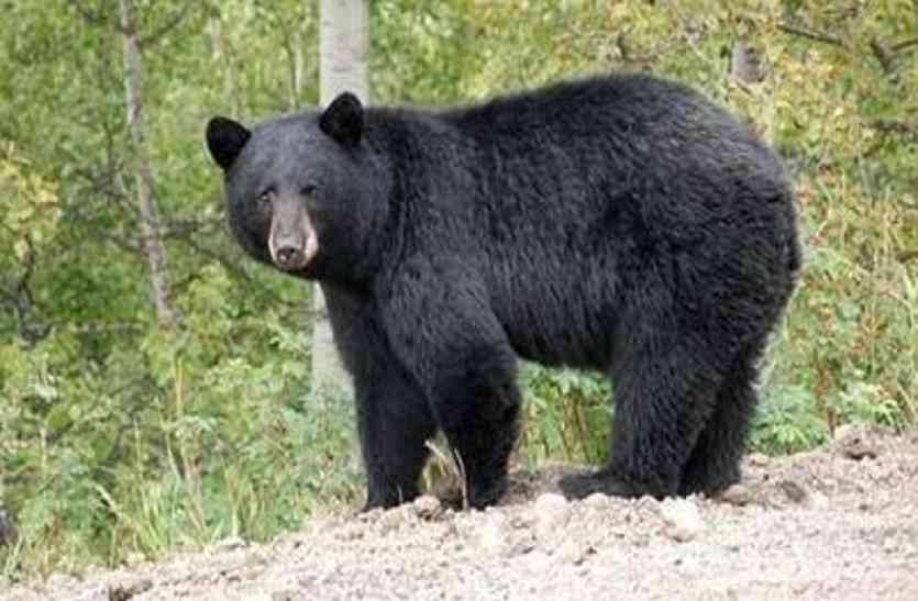 धान की रखवाली कर रहे ग्रामीण पर रात को भालू ने किया हमला, अस्पताल दाखिल