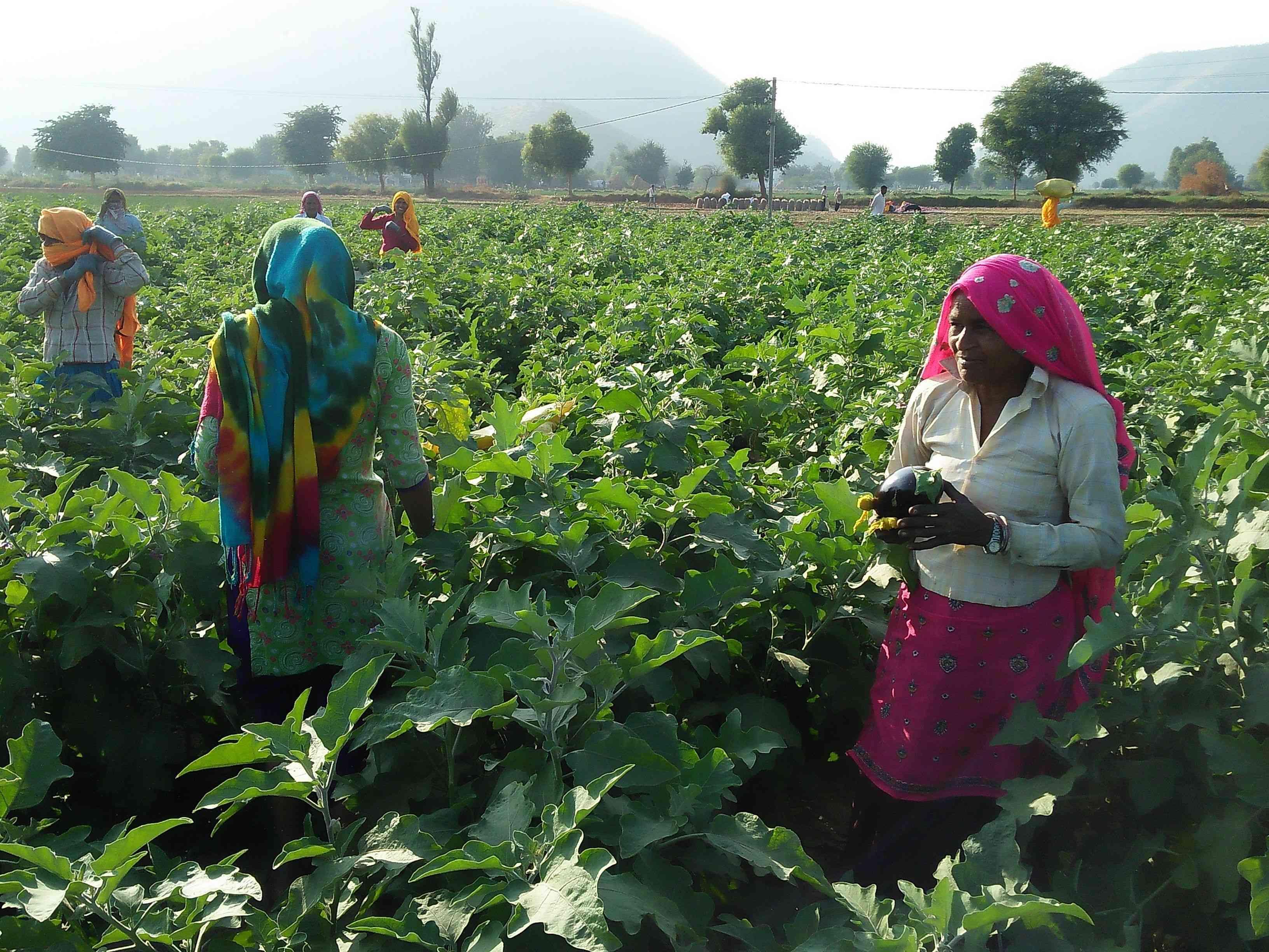 photos of good crop of brinjal in alwar