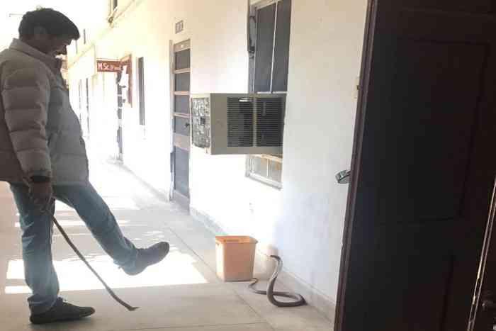 cobra in rajasthan university