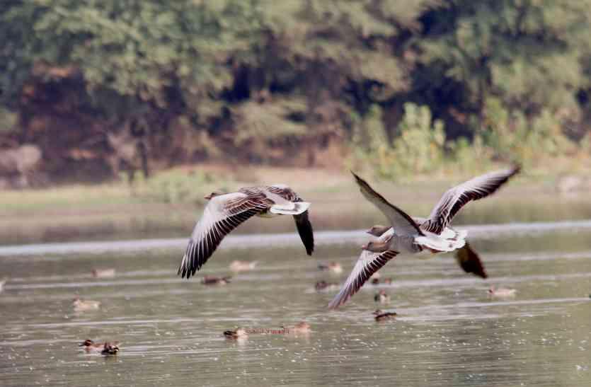 Udaipur Bird Festival Special: सर्दी की दस्तक के साथ ही सबसे पहले भारत पहुंचते हैं शेलडक, 10 हजार किमी. का सफर तय कर आता है ग्रे लैग गूज